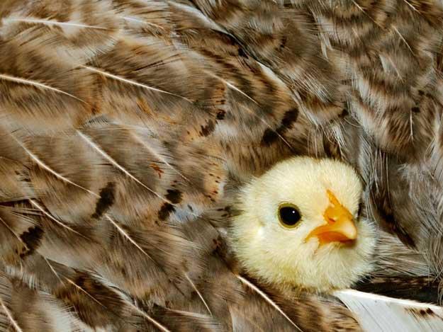 Gluckendes Huhn mit Küken