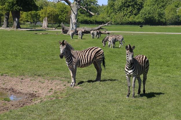 Zebras im Safari Park Knuthenburg!