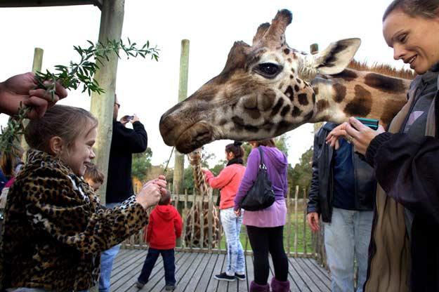Eine Rothschild Giraffe wird von den Kindern gespeist